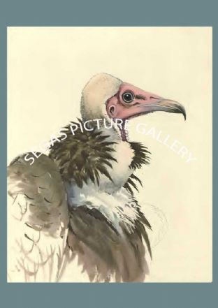 White-necked Vulture (Pseudogyps africanus)